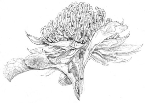 Drawing Images-WARATAH 2 ILLUSTRATION 1 WEB