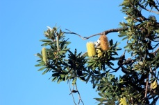 Seaside Wildflowers - BALLINA BANKSIA 3