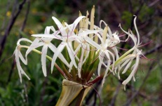Seaside Wildflowers - BALLINA BEACH LILY 1