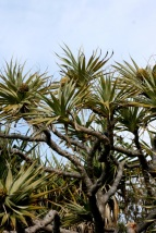 Seaside Wildflowers - BALLINA PANDANUS 12