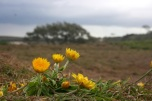 Seaside Wildflowers - BALLINA PAPER DAISIES 1