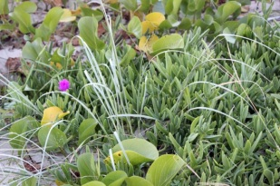 Seaside Wildflowers - BALLINA PIGFACE 1