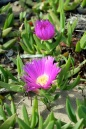 Seaside Wildflowers - BALLINA PIGFACE 2