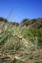 Seaside Wildflowers - BALLINA SPINIFEX 2